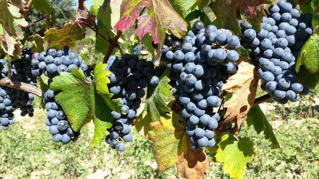 Primer vino 2015